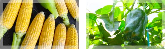 沃土会有機低農薬、無農薬栽培画像